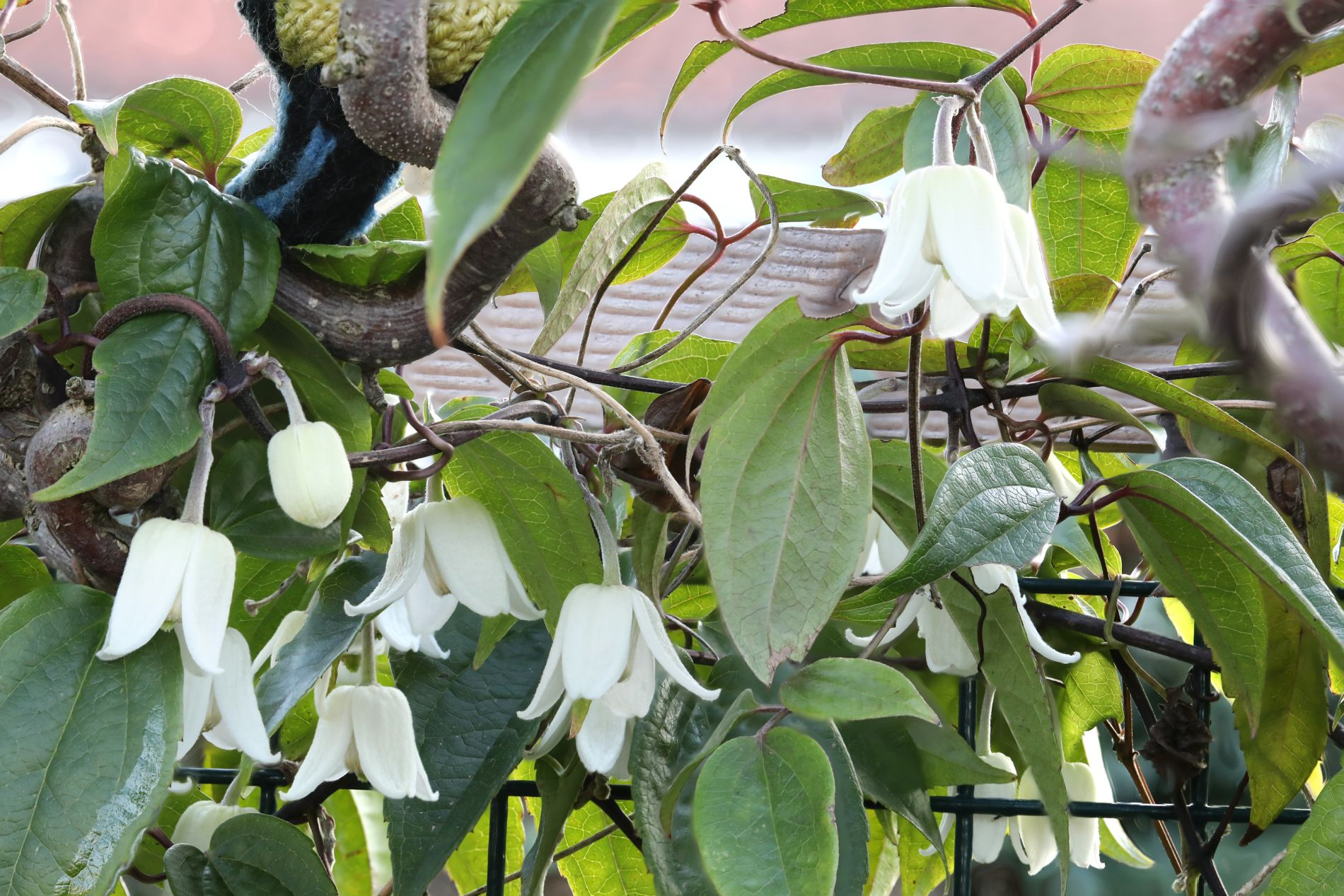"Clematis ""Winter Beauty"""
